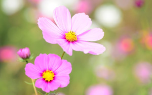 cosmea_floral_bloom-wide